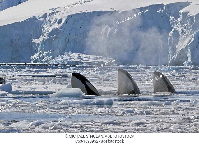 A small pod of Pack Ice Type B killer whales Orcinus orca finding a leopard seal Hydrurga leptonyx on an ice floe in Dorian Bay 64º 46 85' S 63º 28 25'W near...