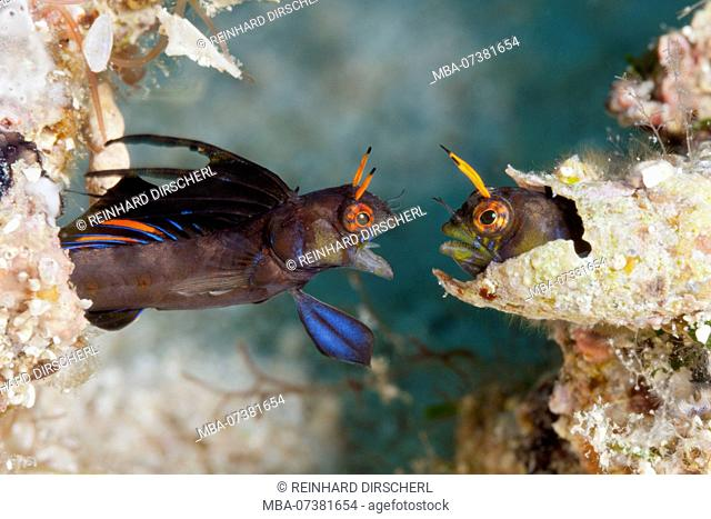Gulf Signal Blennies in threatening posture, Emblemaria hypacanthus, La Paz, Baja California Sur, Mexico