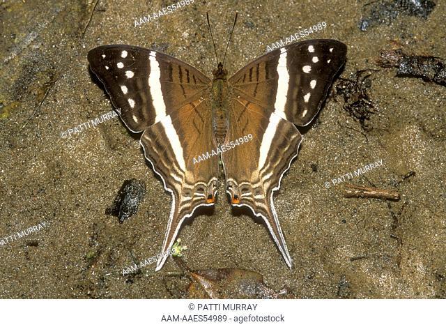 Daggerwing Butterfly (Marpesia crethon), sunning, Amazon, Ecuador