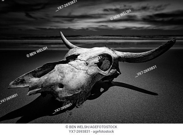 Cow skull. Tarifa, Costa de la Luz, Cadiz, Andalusia, Spain, Southern Europe
