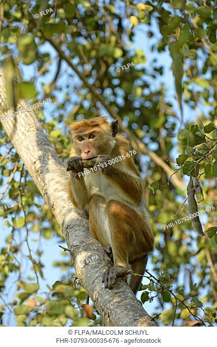 Toque Macaque (Macaca sinica sinica) adult, feeding on seedpod in tree, Bundala N.P., Sri Lanka, March
