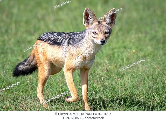 A Black-backed jackal (Canis mesomelas) in the grass in Maasai Mara National Reserve, Kenya