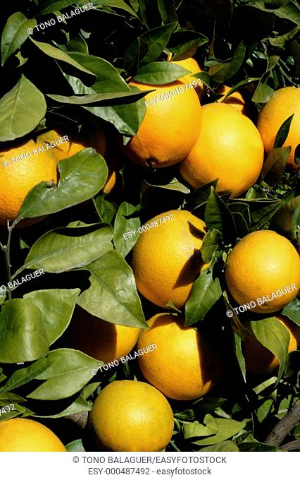 Orange trees in Spain with oranges growing in sunny mediterranean day