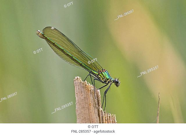 Close-up of Banded Demoiselle Calopteryx splendens on wood