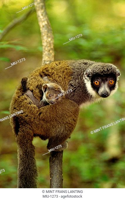 Eastern woolly lemur carrying young, Avahi laniger, Madagascar