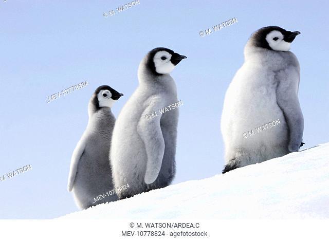 Emperor Penguin - three chicks (Aptenodytes forsteri)