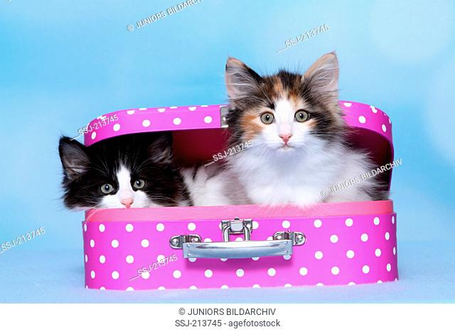 Norwegian Forest Cat. Two kittens in a pink suitcase with white polka dots. Studio picture against a blue background. Germany