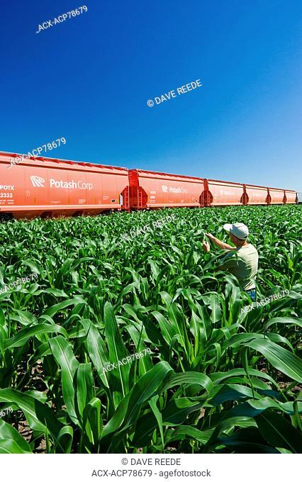 a farmer examines mid-growth corn next to rail hopper cars carrying potash, near Carman, Manitoba, Canada