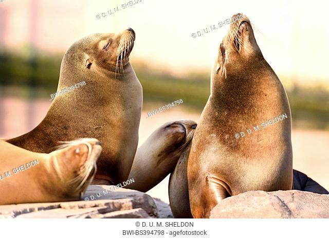 Californian sea lion (Zalophus californianus), dozing group