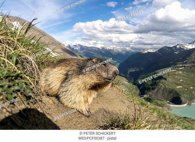 Austria, High Tauern National Park, marmot