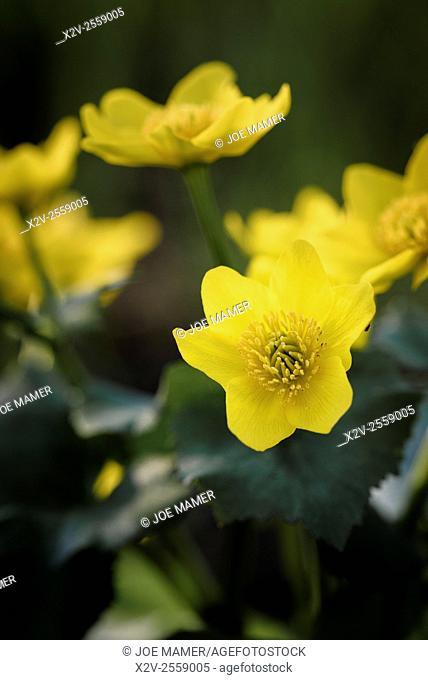 Caltha palustris (Marsh Marigold) flower
