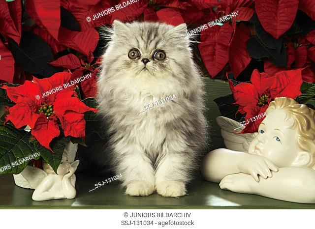 Persian kitten - sitting in front of flower