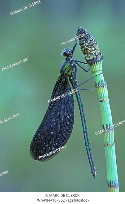 Beautiful Demoiselle Calopteryx virgo - Plateaux, Bergeyk, North Brabant, The Netherlands, Holland, Europe