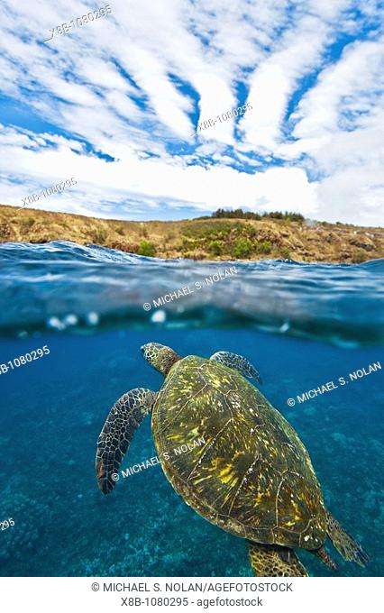 Adult green sea turtle Chelonia mydas in the protected marine sanctuary at Honolua Bay on the northwest side of the island of Maui, Hawaii