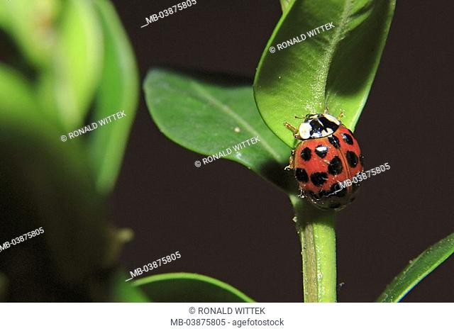 Plant-stems, leaves, Asian ladybug, Harmonia axyridis, series, plant, flower, stems, animal, insect, bugs, harlequin-ladybugs, symbol, lucky-bugs, luck