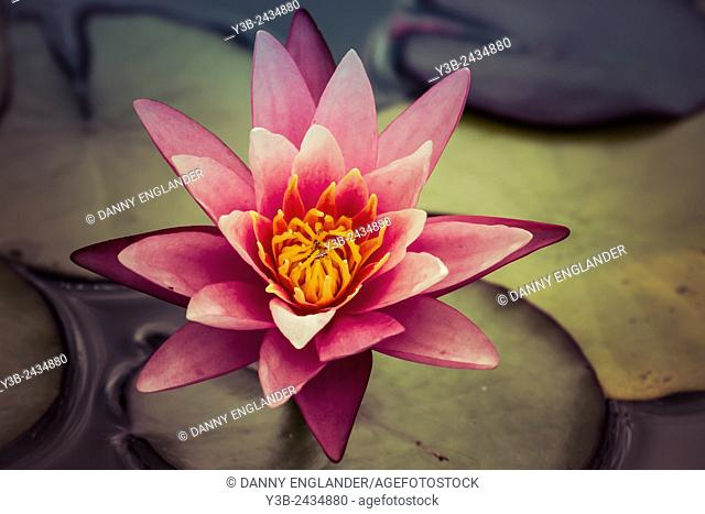 Vintage Style Water Lilly