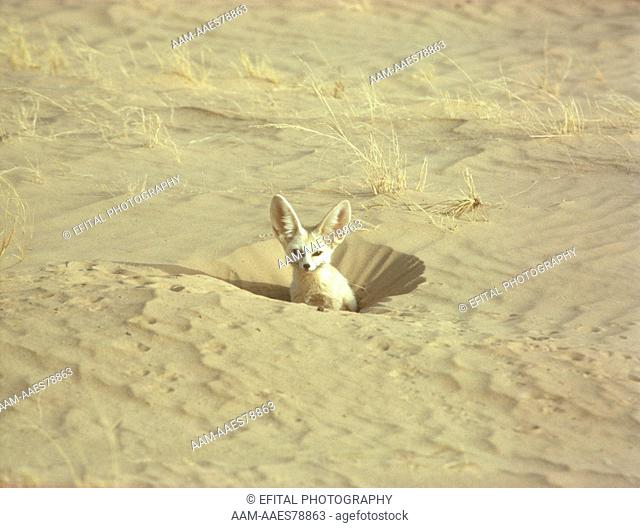 Fennec Fox adult in hole (Fennecus zerda) Sahara Niger Tenere