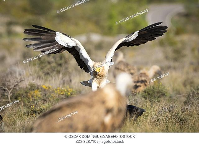 Egyptian vulture (Neophron percnopterus) landing on ground. Pre-Pyrenees. Lleida province. Catalonia. Spain. Endangered species