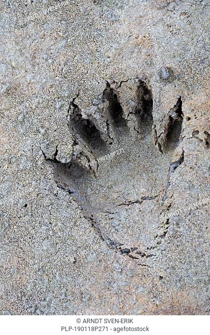 North American raccoon / racoon (Procyon lotor) close-up of footprint in wet sand / mud