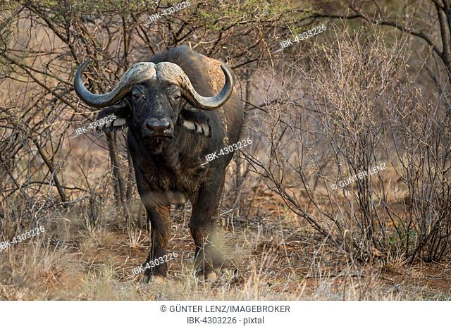 African or Cape buffalo (Syncerus caffer) amongst bushes, Madikwe Game Reserve, North West, South Africa