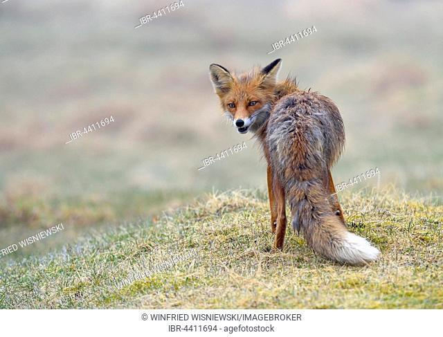 Red fox (Vulpes vulpes), Varanger, Norway