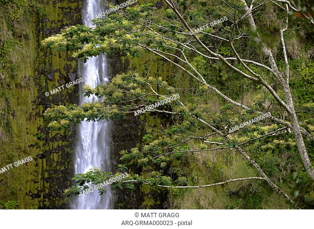A Flowering Tree Rises In The Foreground Of Akaka Falls On The Big Island Of Hawaii