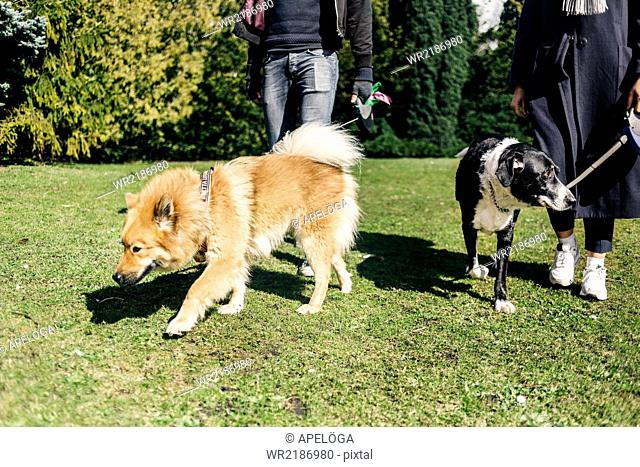 Low section of couple walking with dogs at park