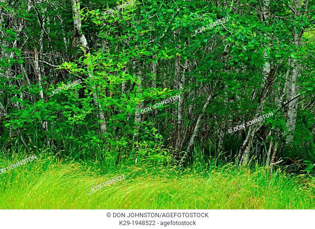 red alder grove and grasses, Haida Gwaii (Queen Charlotte Islands)- Sandspit, British Columbia, Canada