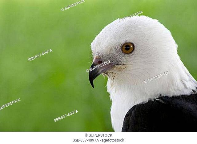 Close-up of a Swallow-Tailed kite Elanoides forficatus