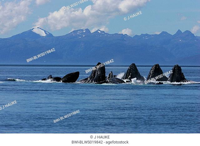 humpback whale Megaptera novaeangliae, cooperative herd using a unique technique called bubble feeding, USA, Alaska, Frederik Sound