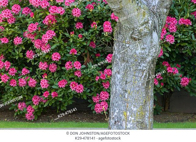Flowering rhododendron and tree trunk. Victoria, BC, Canada