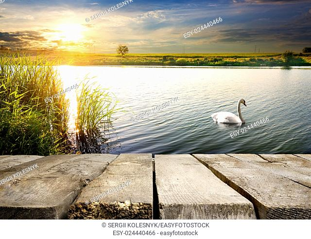 White swan on a river near wooden bridge