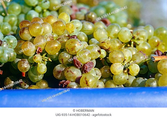 White Grapes, Wine Route, South Africa