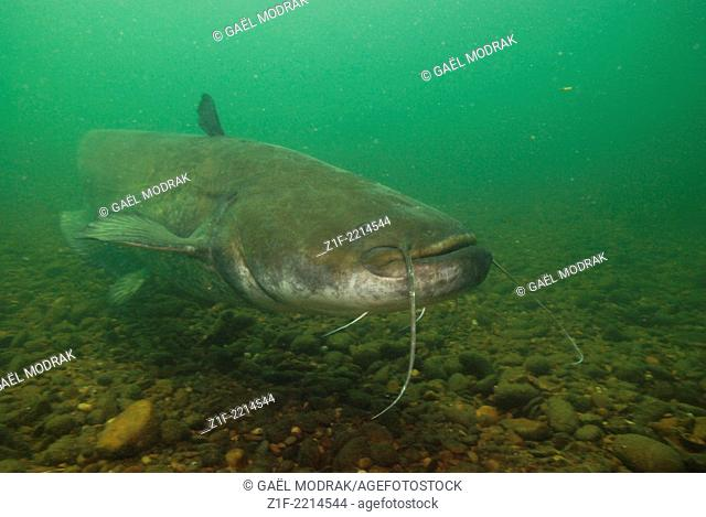 Wels catfish in the Rhône river, south of France. Silurus glanis