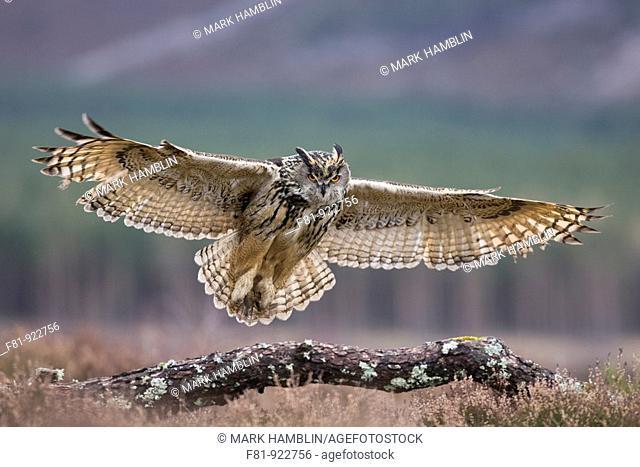 Eagle owl Bubo bubo in flight alighting onto branch captive-bred  Scotland  March 2008