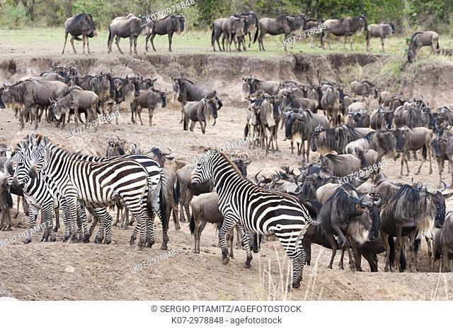 Common zebras (Equus quagga) and wildebeest (Connochaetes taurinus) approaching the river Mara, Masai Mara, Kenya