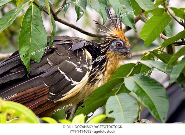Hoatzin - La Selva Jungle Lodge - Amazon Region, Ecuador