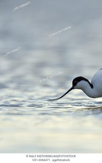 Pied Avocet ( Recurvirostra avosetta ), in shallow waters, head shot, searching for food, wadden sea, wildlife, Europe