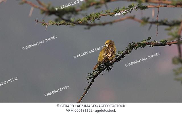 Speke's Weaver, ploceus spekei, Male in Flight, taking off from Branch, Bogoria Park in Kenya, Real Time