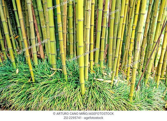 Bamboo. Island of Madeira, Portugal