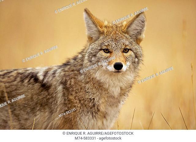 Coyote (Canis latrans) Grand Teton & Yellowstone PNs, Wyoming, USA