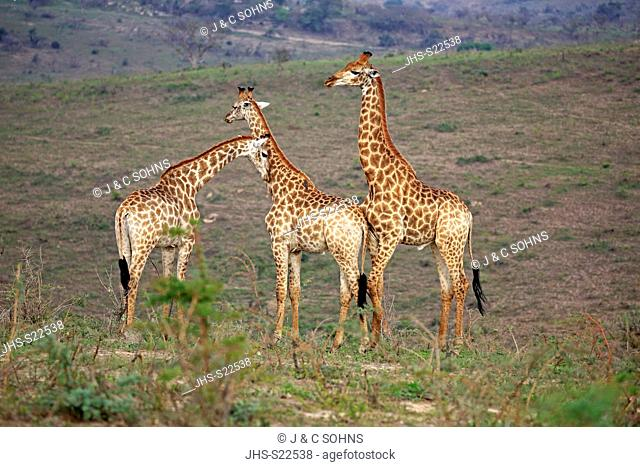 Cape Giraffe, (Giraffa camelopardalis giraffa), adult three males social behaviour, Hluhluwe Umfolozi Nationalpark, Hluhluwe iMfolozi Nationalpark