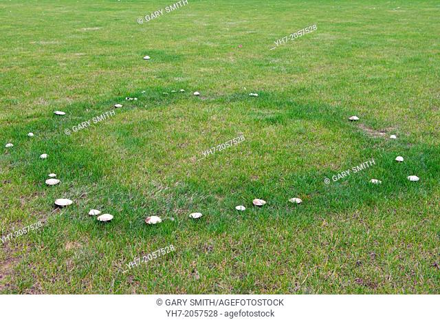 Fairy circle of unknown Fungi on a large Lawn