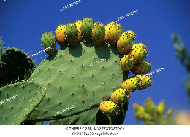 Italy, Sicily, barbary fig tree and pears opuntia ficus-indica