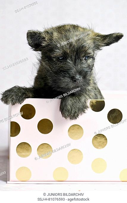 Cairn-Terrier. Puppy (6 weeks old) in a box. Studio picture. Germany