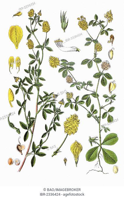 Left: Large Hop Trefoil (Trifolium aureum), right: Hop Trefoil (Trifolium campestre procumbens), medicinal plant, historical chromolithography, ca