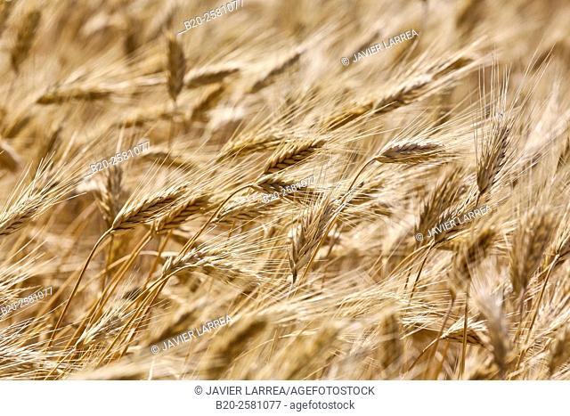 Field of wheat, Cereals, 'Learza' estate, Near Estella, Navarre, Spain