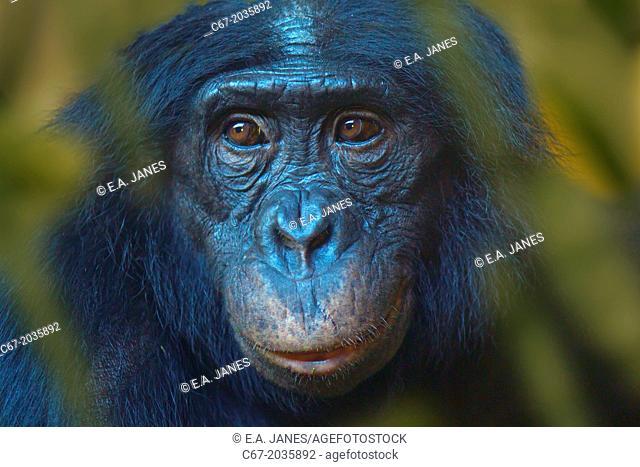 Bonobo or Dwarf Chimpanzee Pan paniscus