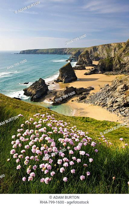 Thrift growing on the clifftops overlooking Bedruthan Steps, North Cornwall, England, United Kingdom, Europe