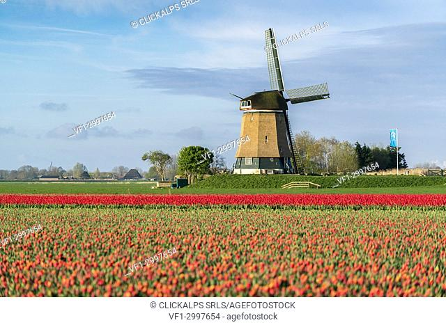 Field of red tulips and windmill. Koggenland, North Holland, Netherlands